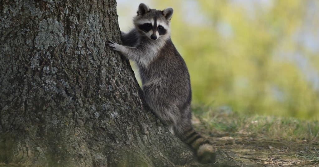 Exotic Pet Ownership raccoon