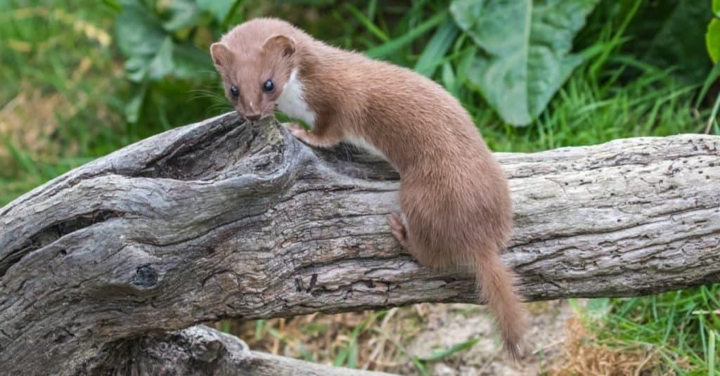 Exotic Pet Ownership weasel