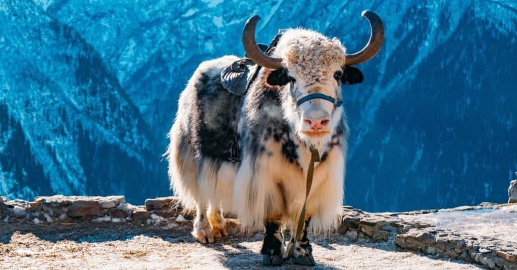 Exotic Pet Ownership yak