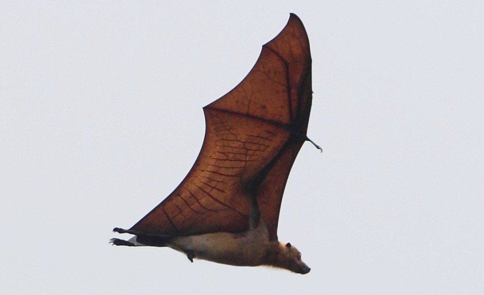 Animales extintos: Guam Flying Fox