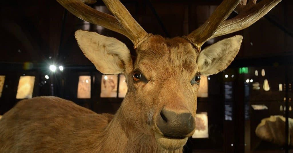 Animales extintos: ciervo de Schomburgk