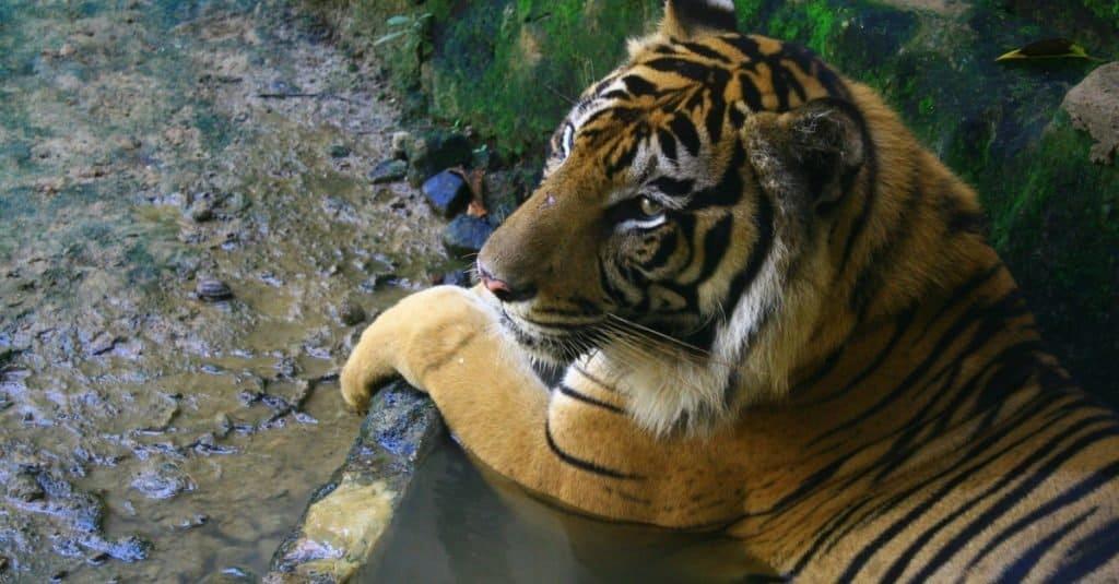 Animales extintos: tigre de Java