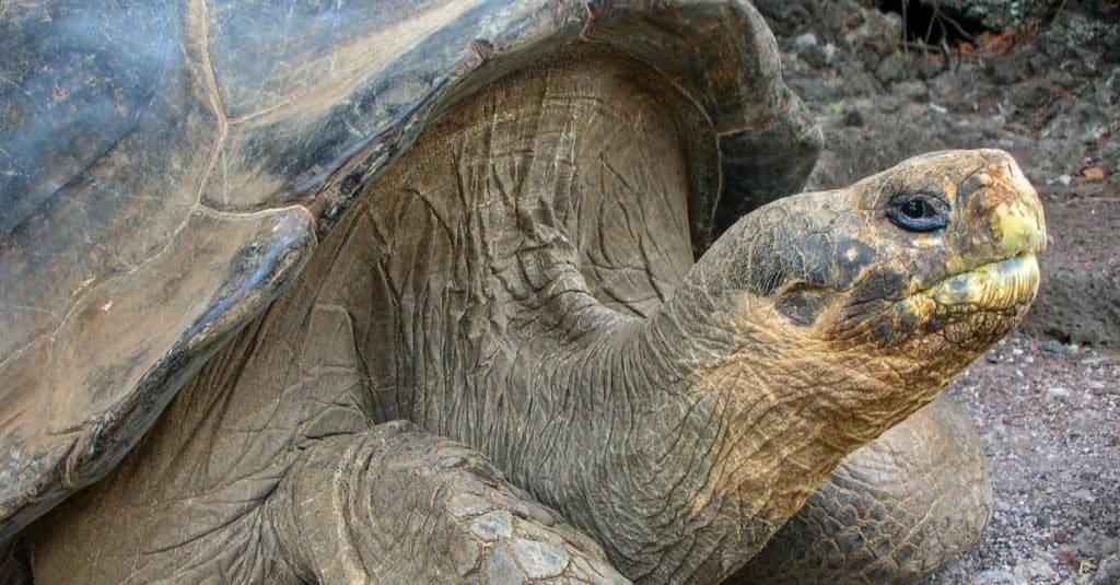 Animales extintos: Tortuga Gigante Pinta
