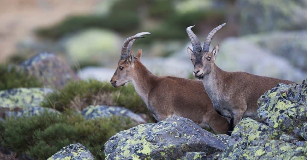 Animales extintos: Cabra montés de los Pirineos