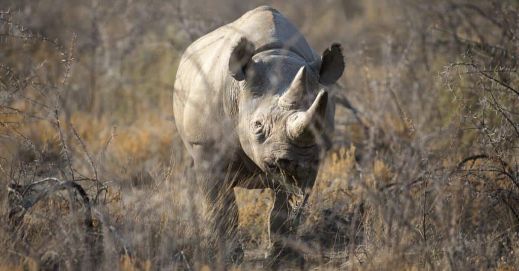 Animales extintos: rinoceronte negro de África occidental