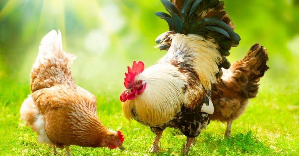 Animales favoritos y más populares: pollo