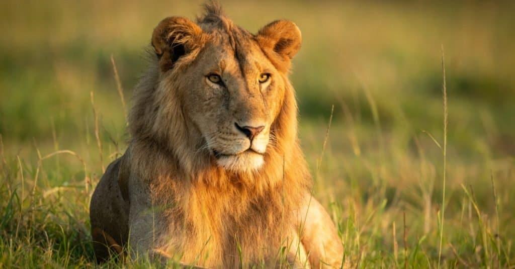 Animales favoritos y más populares: León