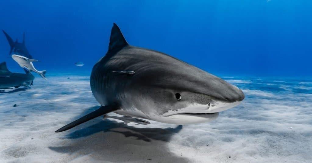 Animales favoritos y más populares: tiburón