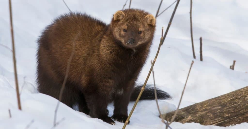 The fisher cat (Pekania pennanti) sitting in snow in the winter.