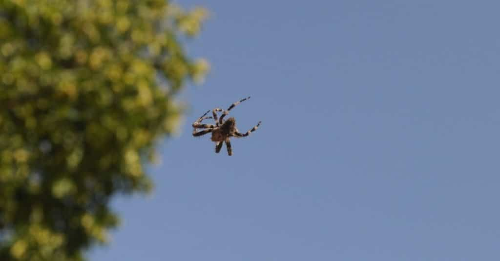 Arañas voladoras