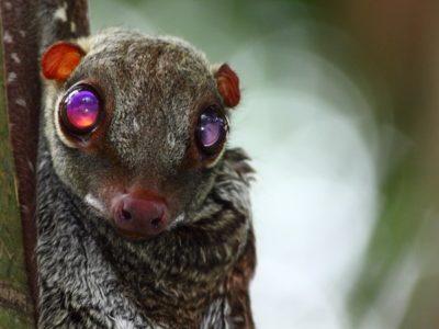 A Flying Lemur