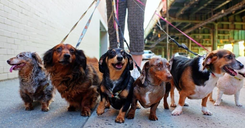 Trabajos divertidos con animales: cuidador de mascotas / paseador de perros
