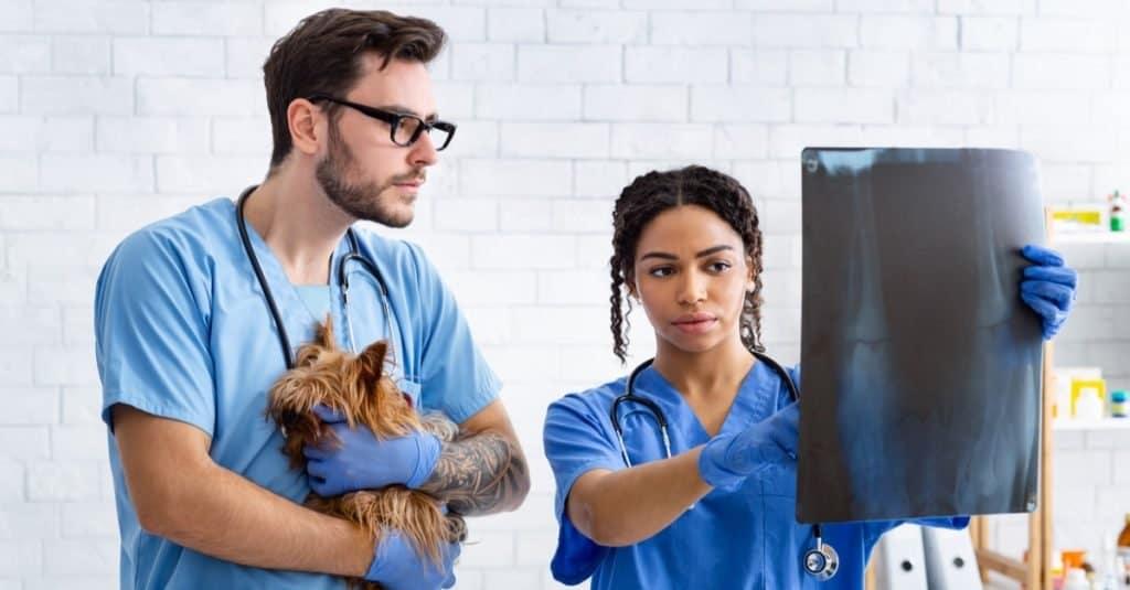 Trabajos divertidos con animales: Asistente veterinario