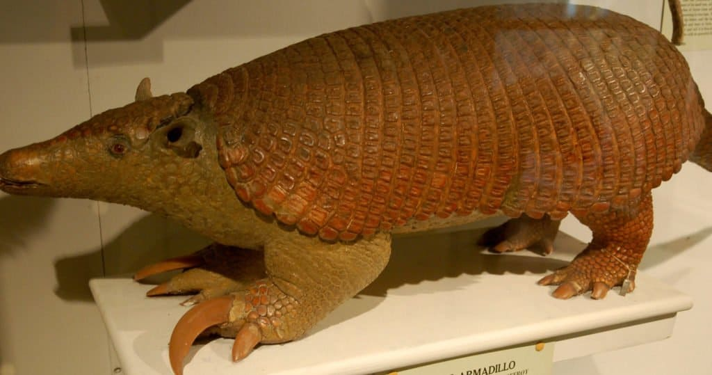 Giant Armadillo displayed at the Harvard Museum of Natural History in Boston, MA.