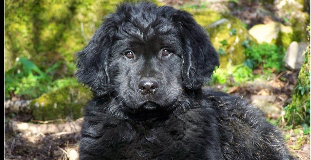 Golden Newfie puppy playing outside in the wood.