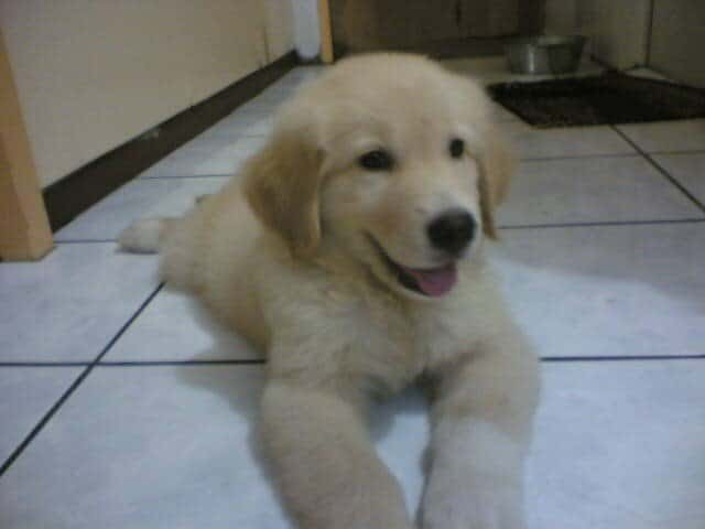 Golden Pyrenees puppy playing inside the house.