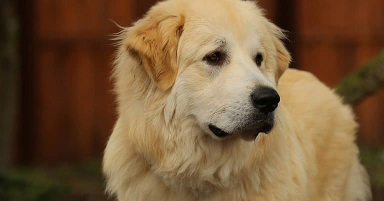 Golden Pyrenees inside in the sitting room.