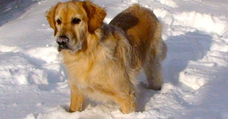 Golden Pyrenees (Golden Retriever, Great Pyrenees mix) playing outside in the snow.