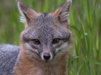 A Gray Fox