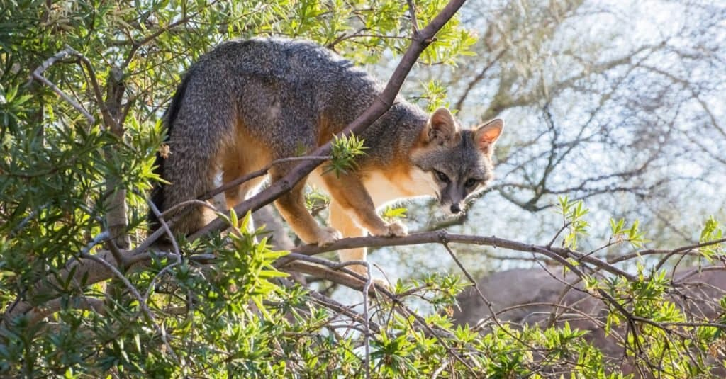 Gray Fox in the Upper Branches of a Tree. Gray foxes are excellent tree climbers.
