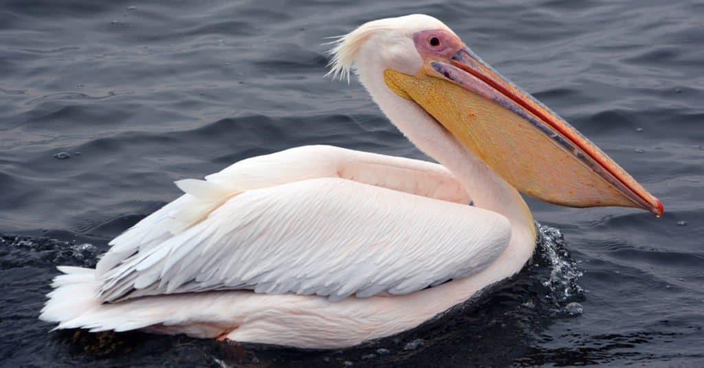 Los pelícanos se distinguen de otras aves porque los 4 dedos de sus pies están palmeados.