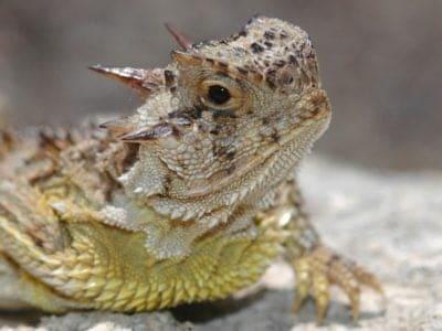 A Horned Lizard