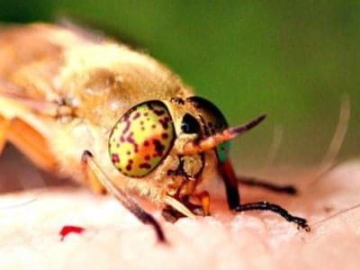 A Horsefly