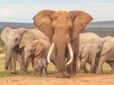 A Elephant Lifespan: How Long Do Elephants Live?