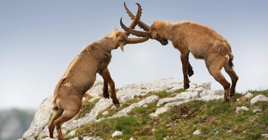 Alpine ibex posturing and dueling in Slovenian Alps.