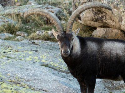 A Ibex