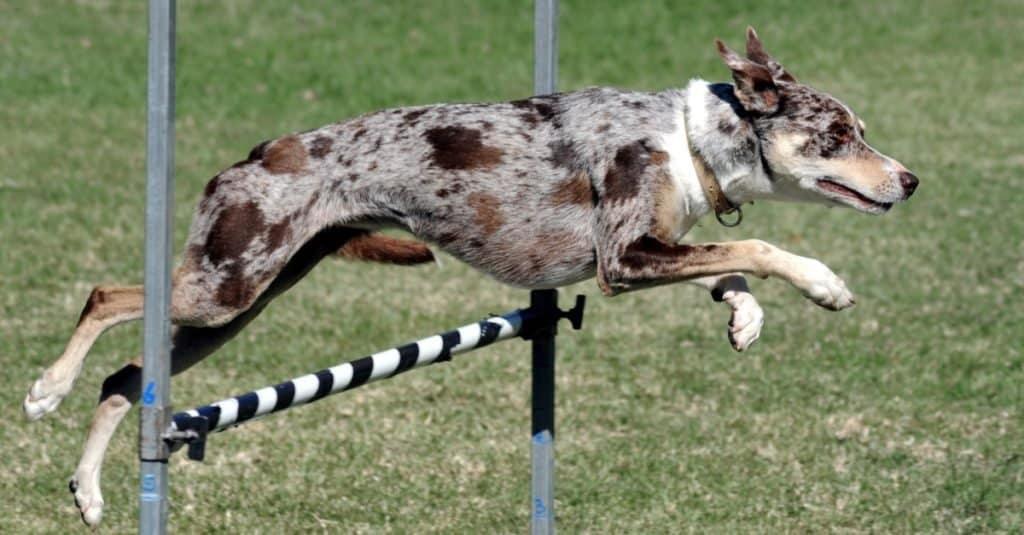 Koolie enjoying an agility challenge.