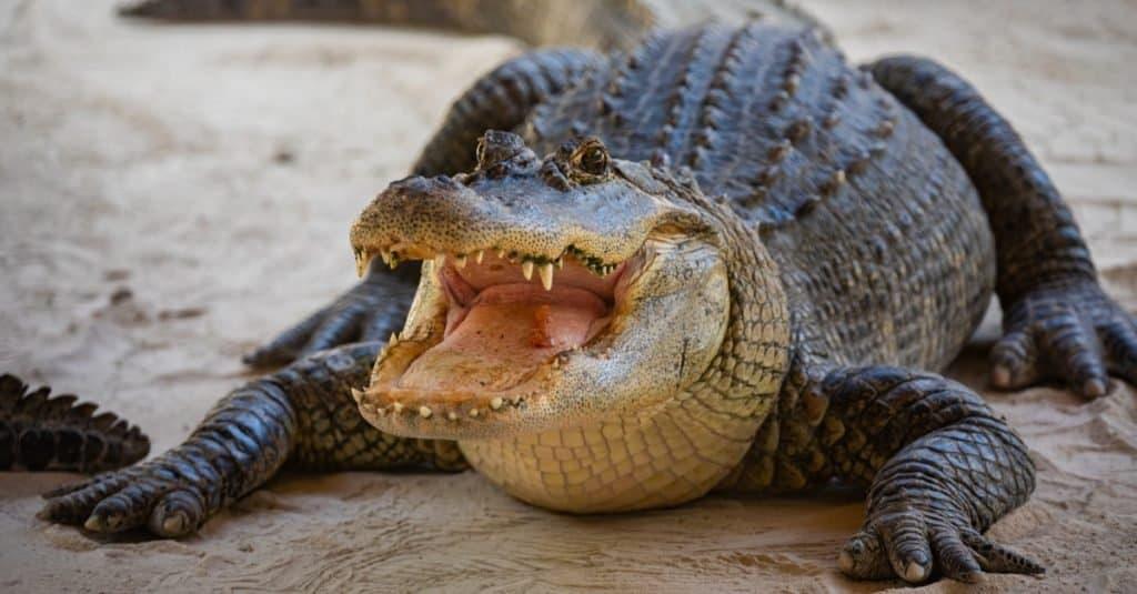 Largest Alligators