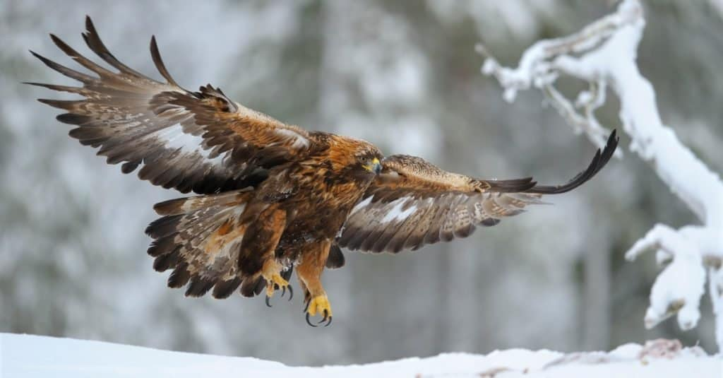 Largest Eagles in the World: Golden Eagle