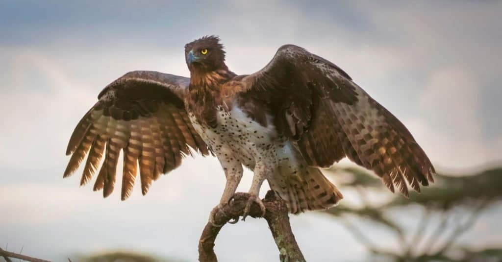 Largest Eagles in the World: Martial Eagle