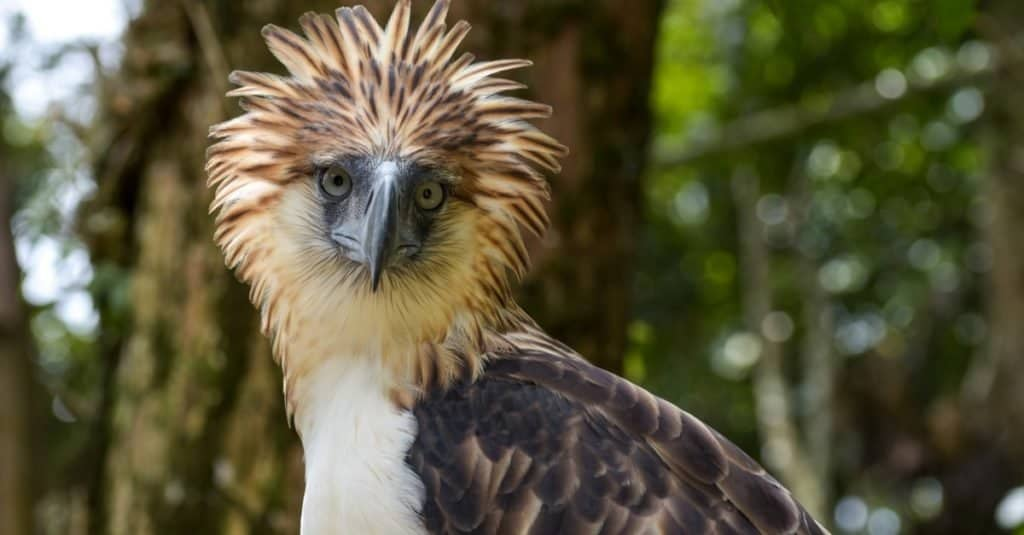 Largest Eagles in the World: Philippine Eagle