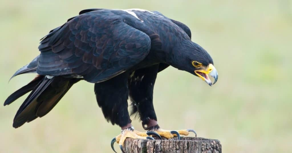 Largest Eagles in the World: Verreaux's Eagle