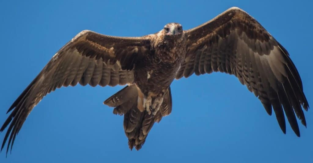 Largest Eagles in the World: Wedge-tailed Eagle