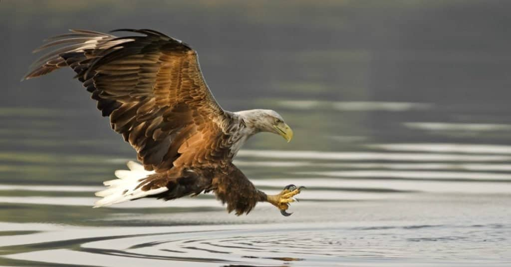 Largest Eagles in the World: White-tailed Eagle