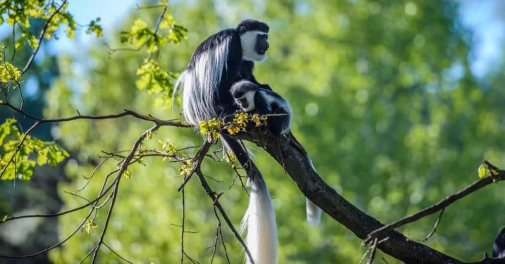 Cola más larga: el colobo de Angola