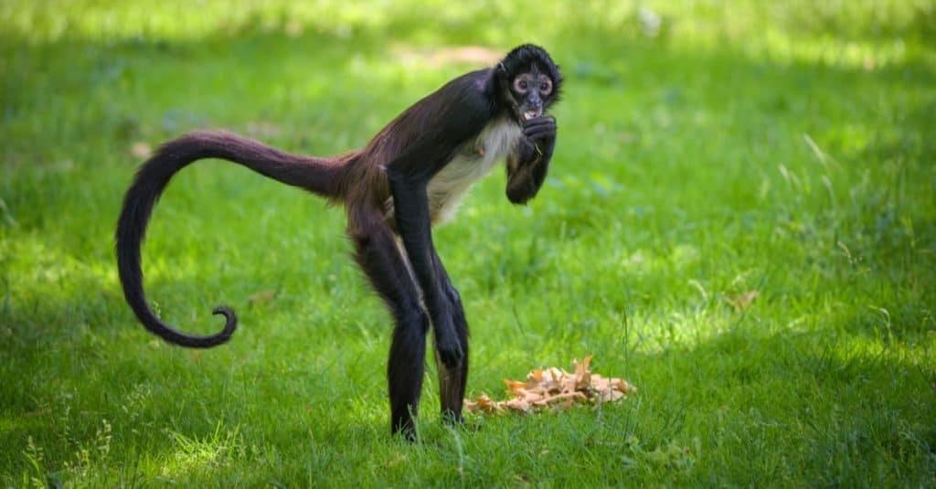 Cola más larga: el mono araña negro