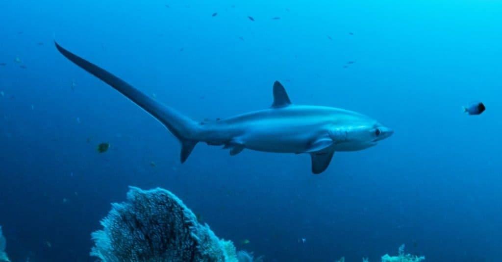 Cola más larga: el tiburón zorro común