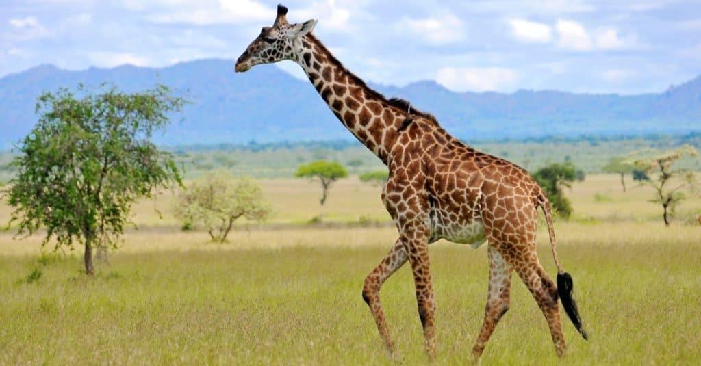 Cola más larga: la jirafa