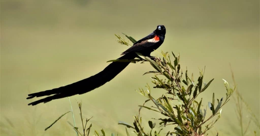 Cola más larga: el pájaro viuda de cola larga