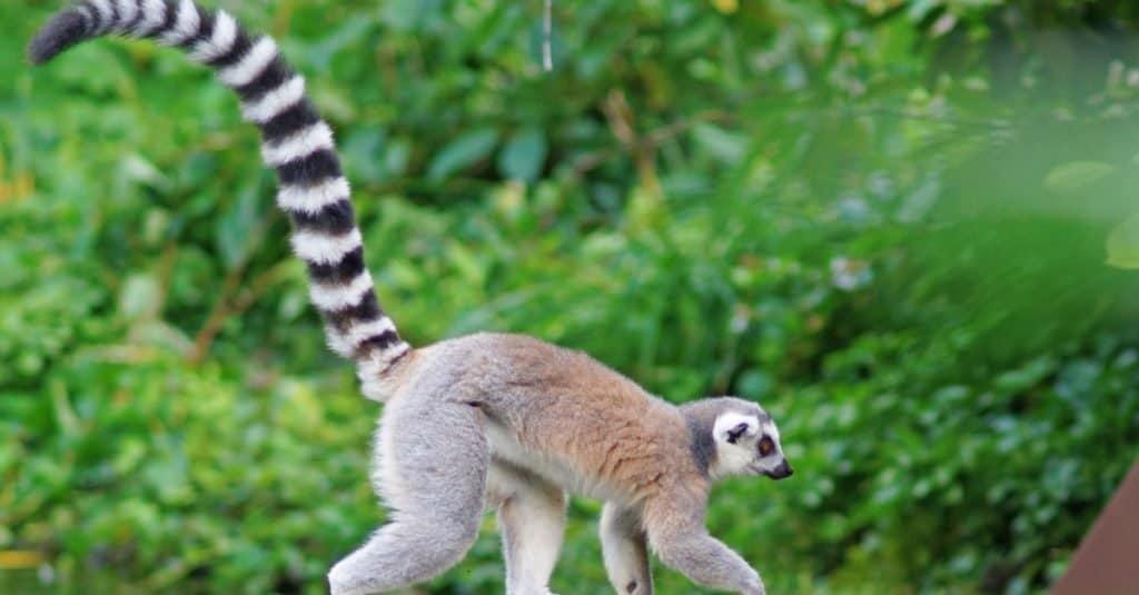 Cola más larga: el lémur de cola anillada