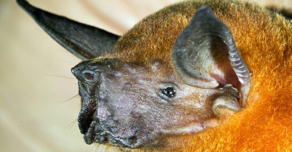 Loudest Animals: Greater Bulldog Bat