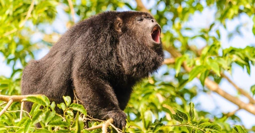 Loudest Animals: Howler Monkey