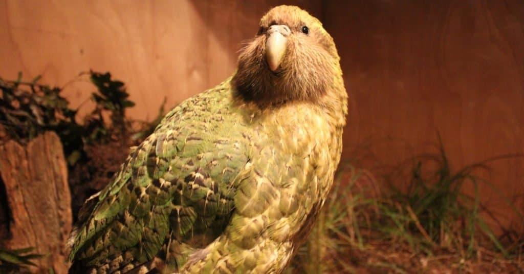 Loudest Animals: Kakapos