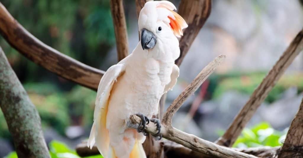 Loudest Animals: Moluccan Cockatoo