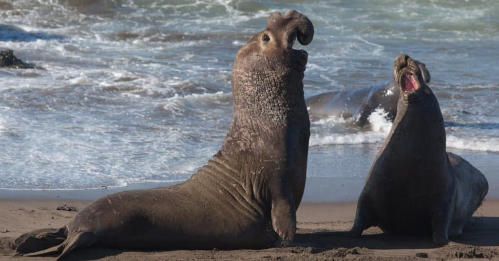 Loudest Animals: Northern Elephant Seal