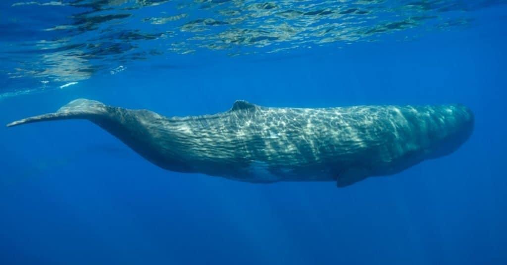 Loudest Animals: Sperm Whale